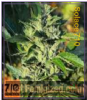 710 Genetics Solace Female 5 Marijuana Seeds